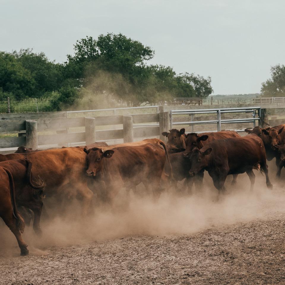 A Cattle Centennial